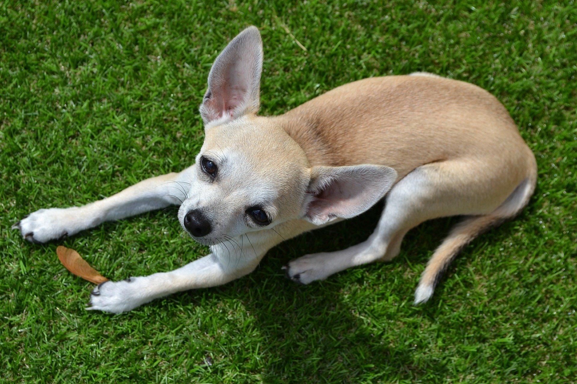 Cani che rimangono piccoli: ecco le razze più conosciute