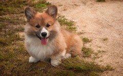 I cani della Regina: la razza Corgi