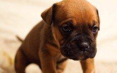 Coronavirus Canino ccv