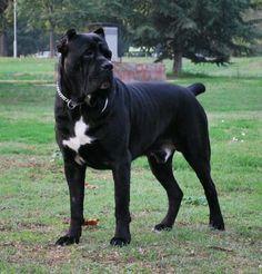 Cane corso femmina: tutte le sue caratteristiche