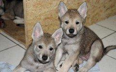 Cane lupo cecoslovacco cucciolo: tutte le caratteristiche