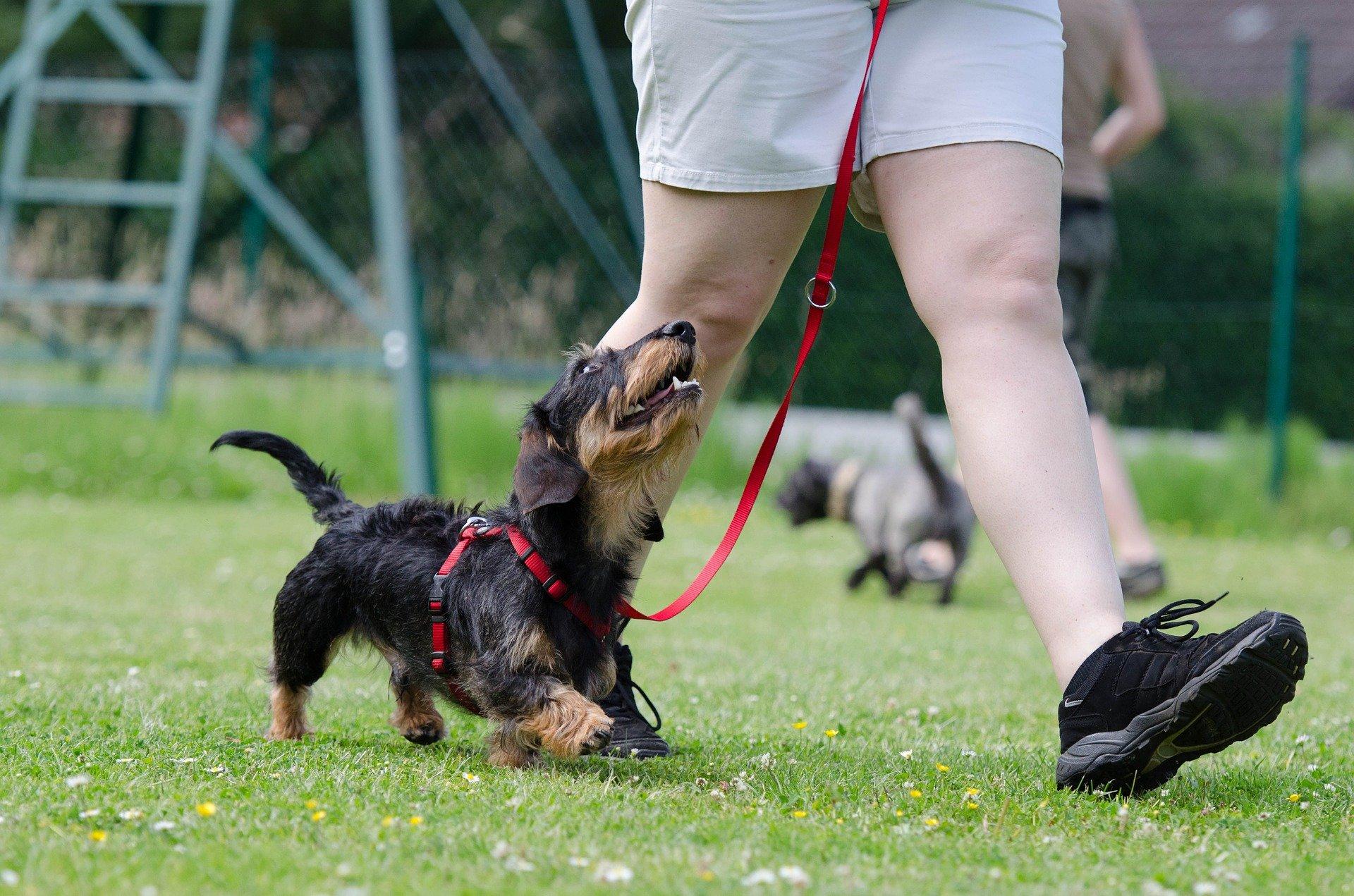 Come addestrare un cane di due mesi fino all'anno di vita e oltre