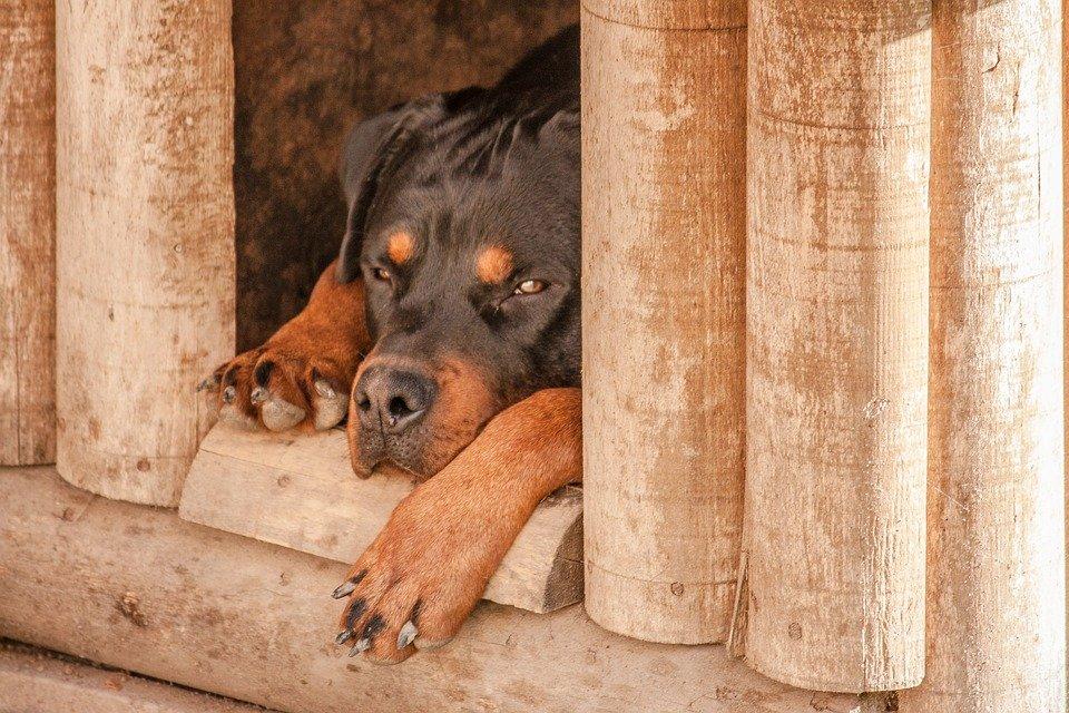 Demencia senil en perros