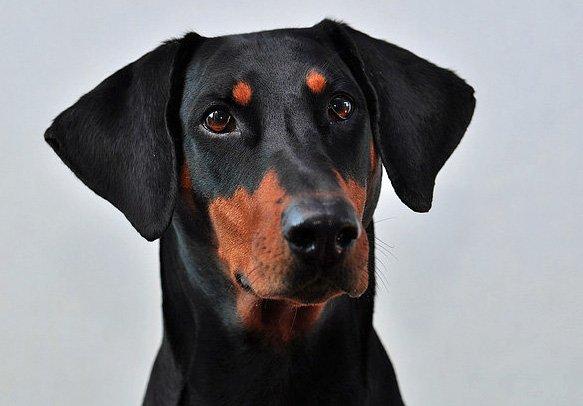 Razas de Perros: Doberman caracteristicas y cuidados