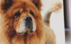 Chow Chow dog
