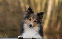 Proteina C reattiva: le proteine della fase acuta del cane