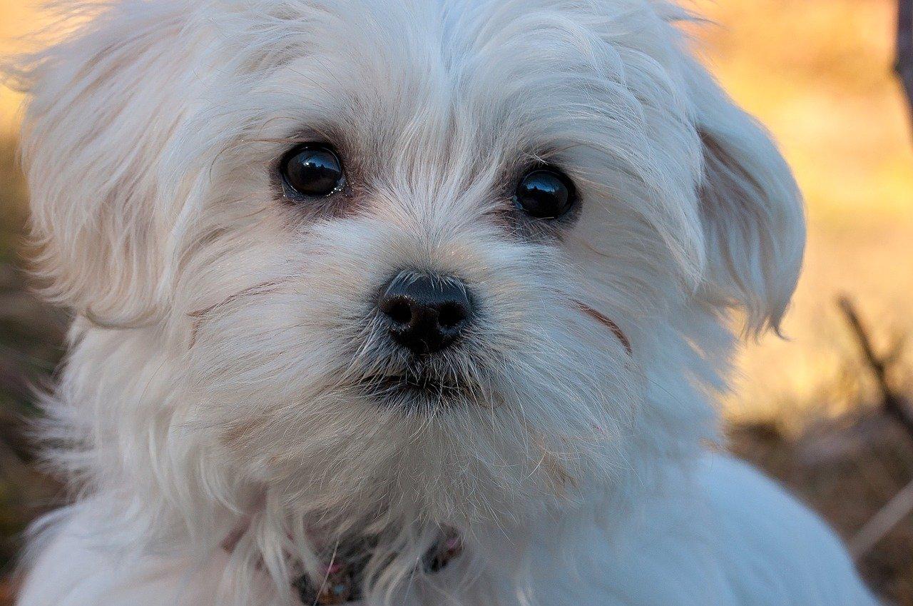 Come educare un cane maltese con cordialità e gentilezza
