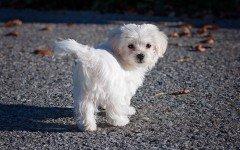 Cane maltese nano: tutte le caratteristiche