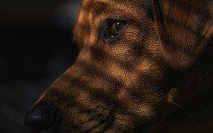 Toxoplasmosis en perros