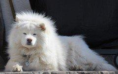 Razas de Perros: perro Samoyedo caracteristicas y cuidados