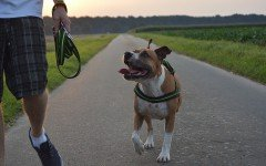 Dog breeds: American Staffordshire Terrier characteristics