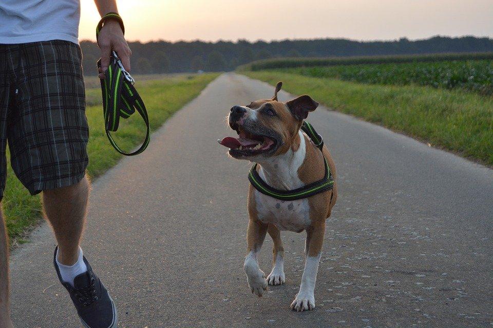 Dog breeds: American Staffordshire Terrier characteristics