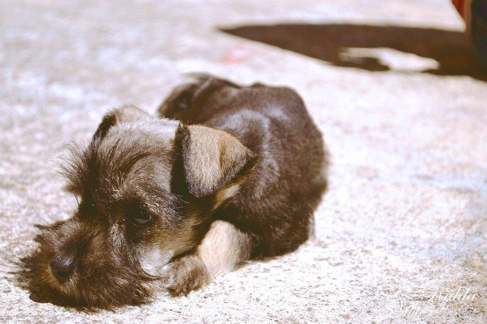 Hepatitis en perros