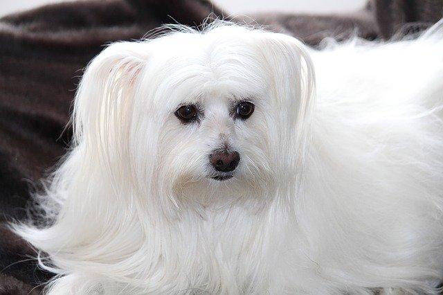 Razas de Perros: Bichon maltes caracteristicas y cuidados