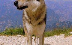 Razze cani: il cane Lupo Italiano carattere e caratteristiche
