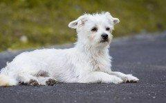 perro Bichon maltes