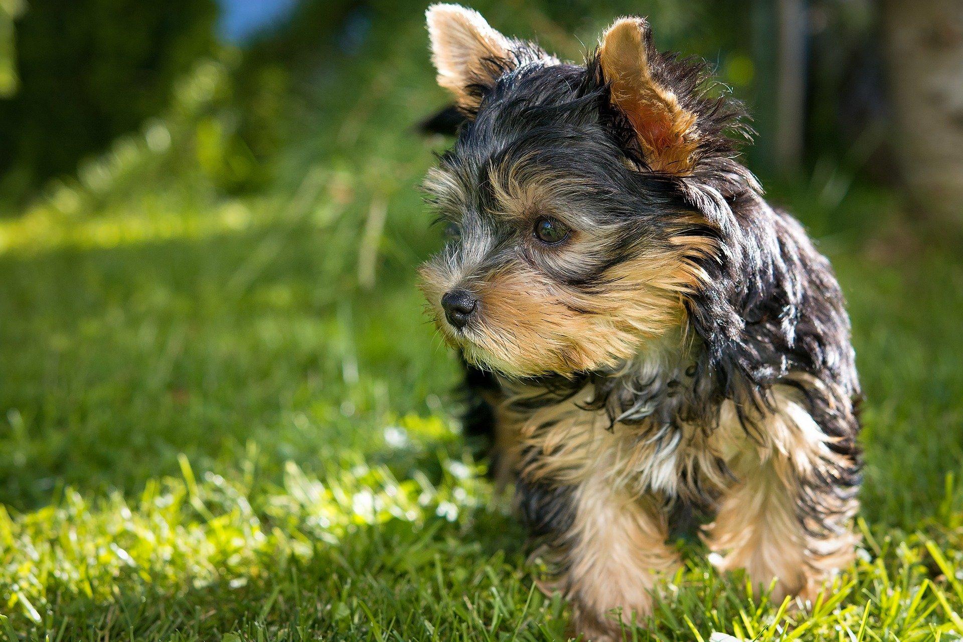 Come addestrare un cane di piccola taglia i primi accorgimenti