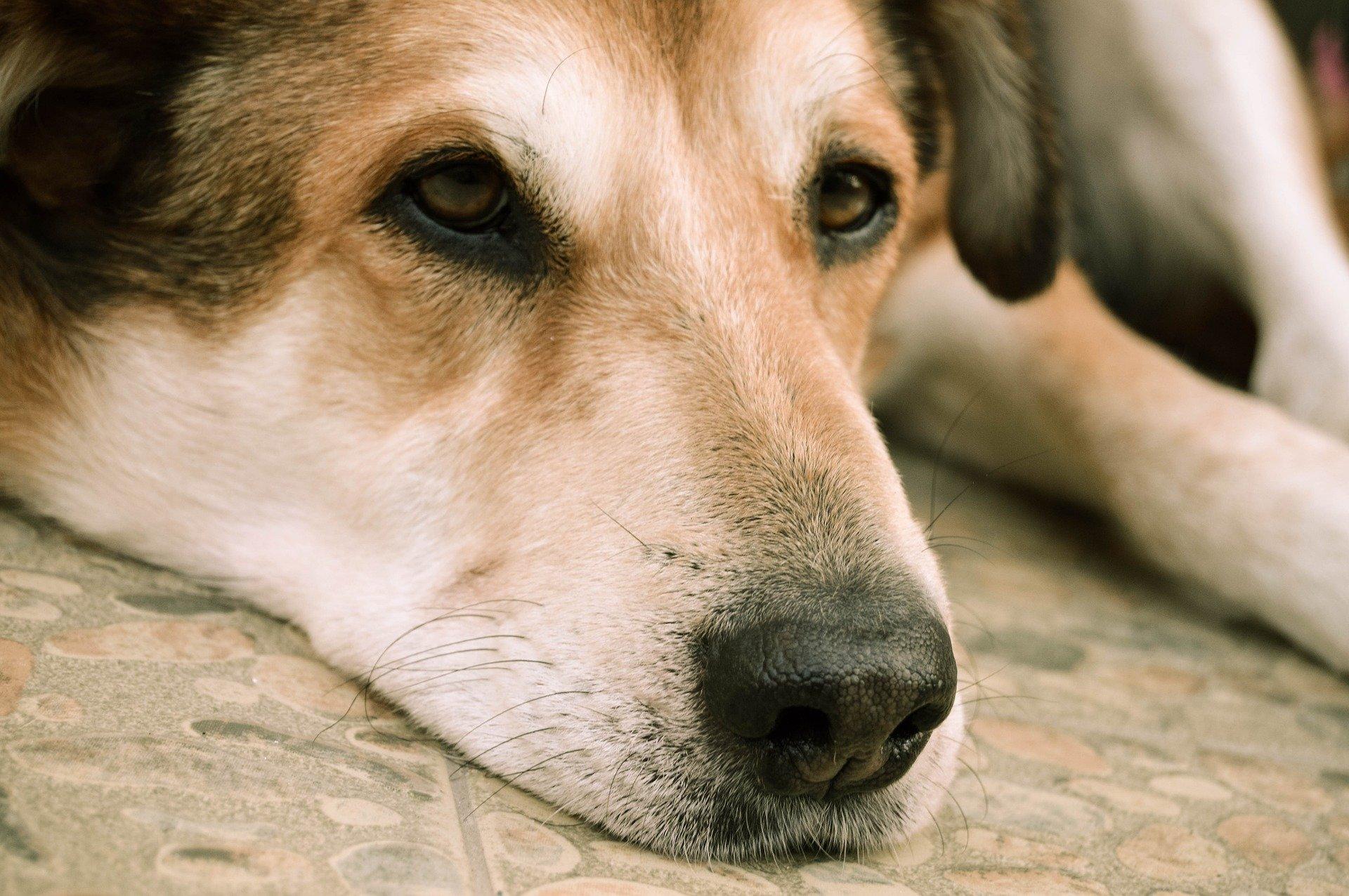 Lipoma nel cane, le cause, i rimedi e la diagnosi