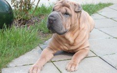 Cane rugoso: segni particolari e caratteristiche