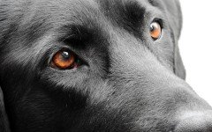 La cataratta del cane: i sintomi e le cause della patologia