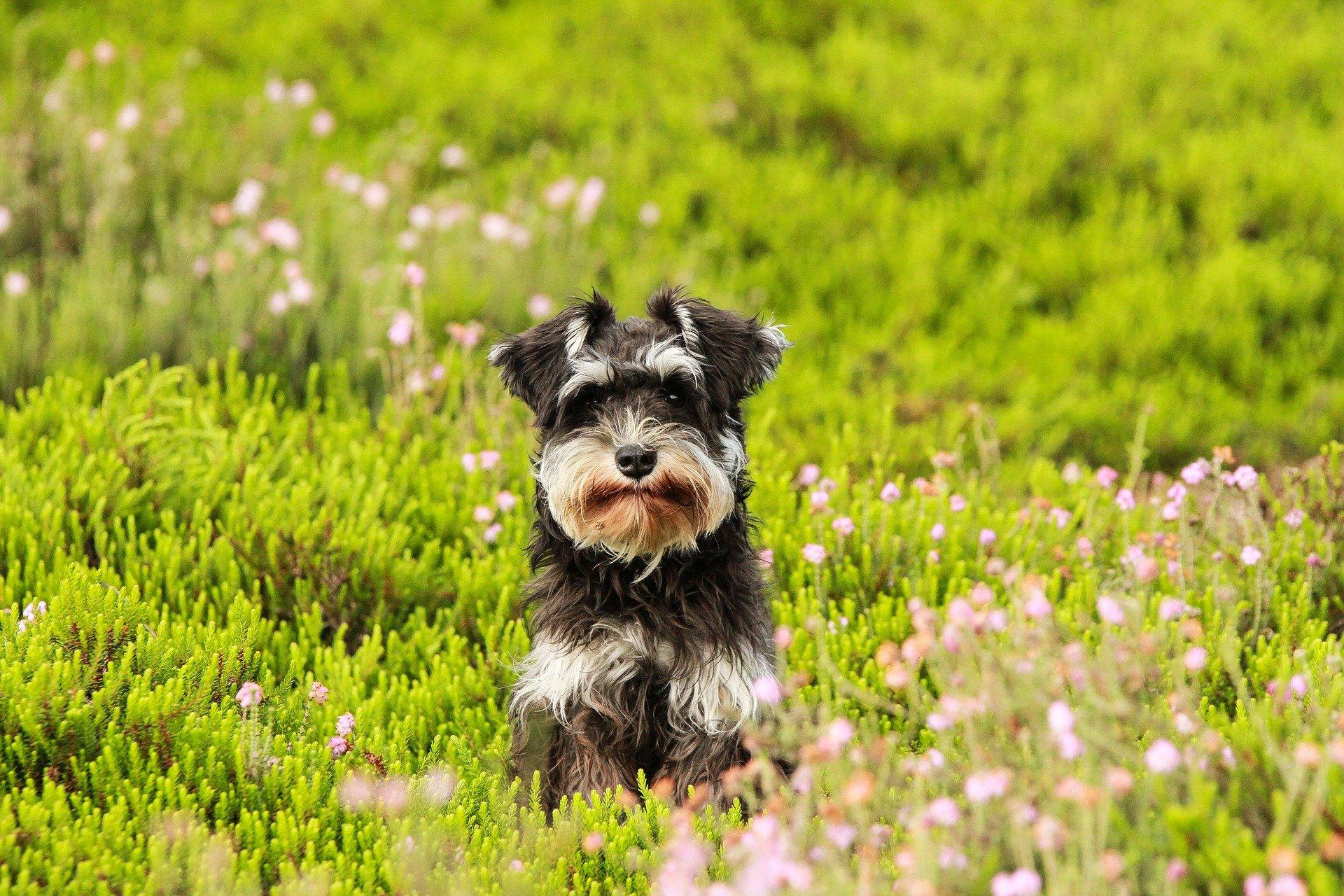 Cani che non perdono pelo, quali razze di cani sono?