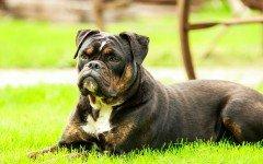 Come educare un cane dominante ad essere tranquillo
