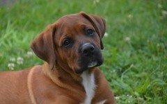 Meningite asettica nel cane cause, diagnosi e trattamento