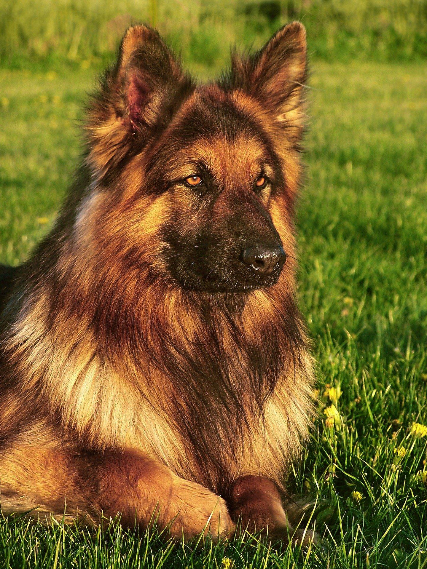 Cane peloso, le razze di cani più diffuse