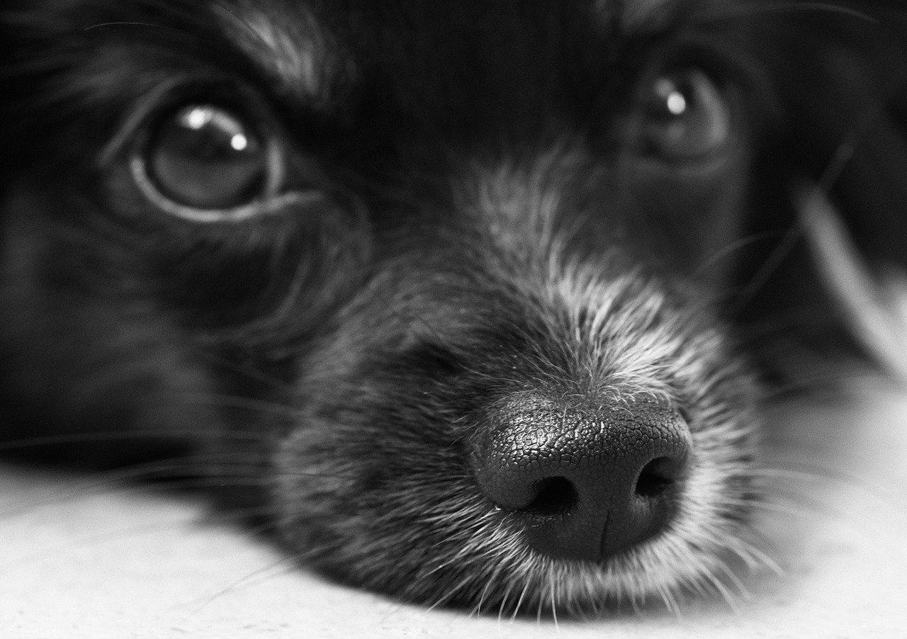 Raffreddore nei cani, i sintomi e i rimedi