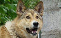 perro Laika de Siberia Oriental