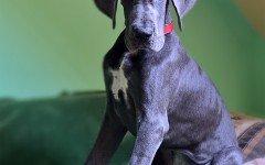 Cani Giganti: razze di cani più grandi, patologie e alimentazione