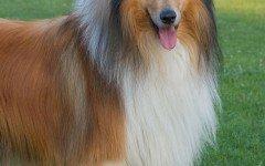 Cane Lassie: carattere, alimentazione e caratteristiche