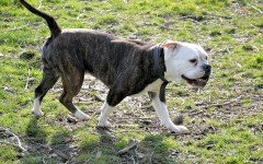 Displasia dell'anca nel cane: sintomi e trattamento