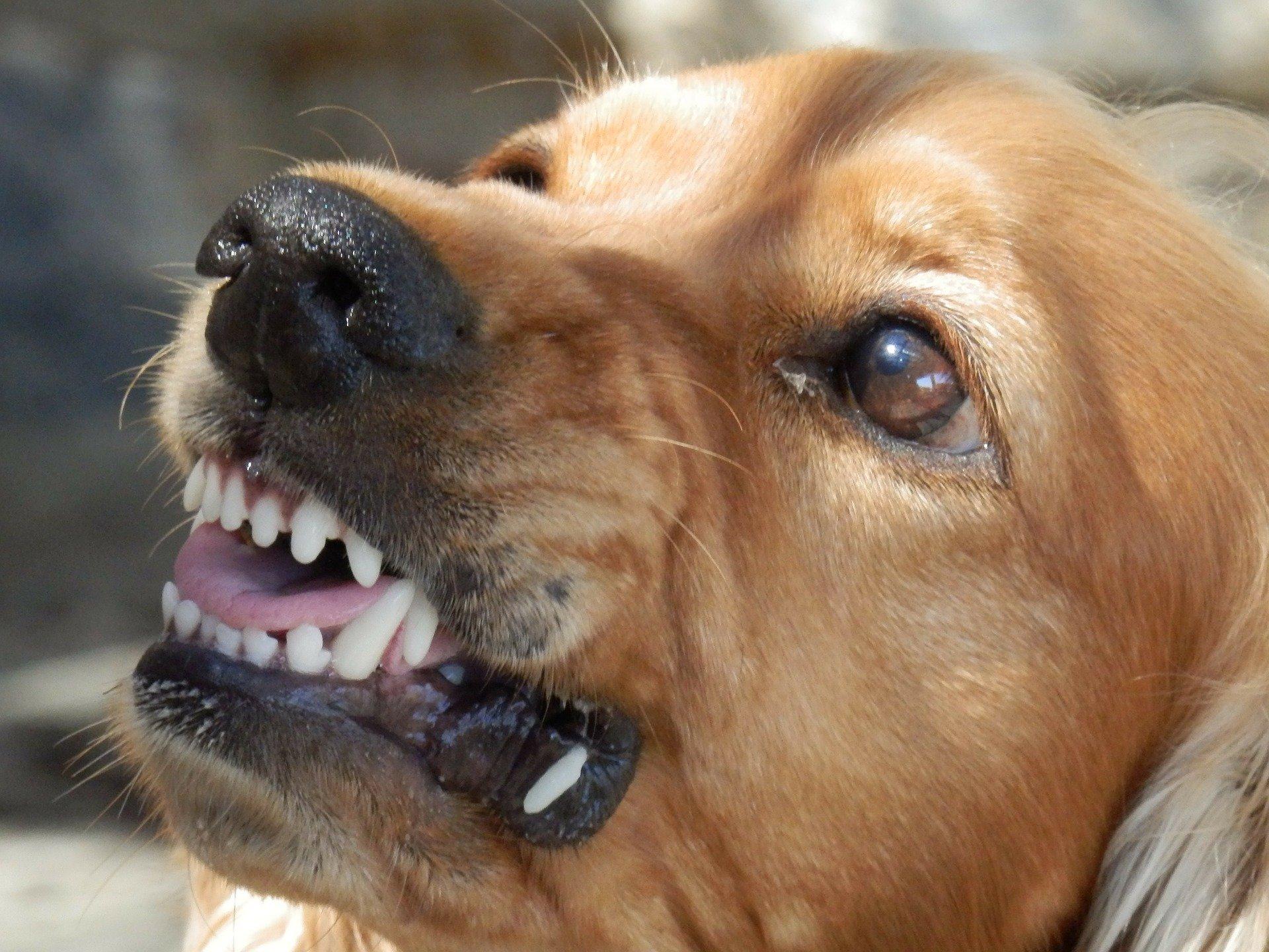 Come addestrare un cane a non mordere più