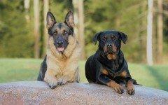 Cani da difesa: quando il padrone è la cosa più importante