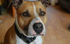 American Pitbull Terrier: origini di una razza canina