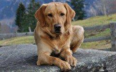 Cura del cane Labrador: la toelettatura e il bagno