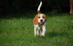 Dog Breeds: Beagle dog , temperament and personality