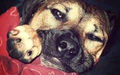 Torsion gastrica en perros