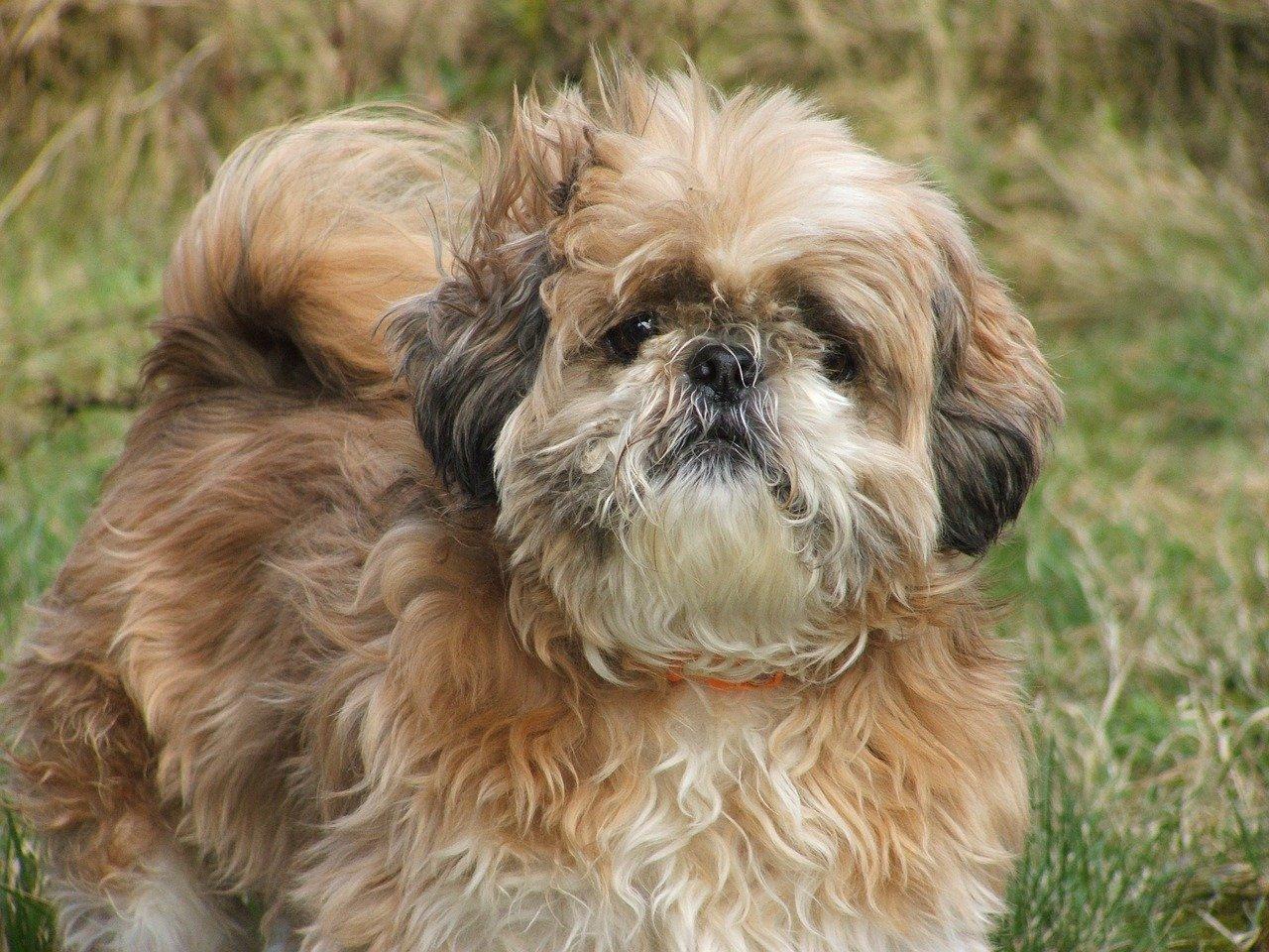 Monociti alti nel cane: perchè succede, diagnosi e terapia