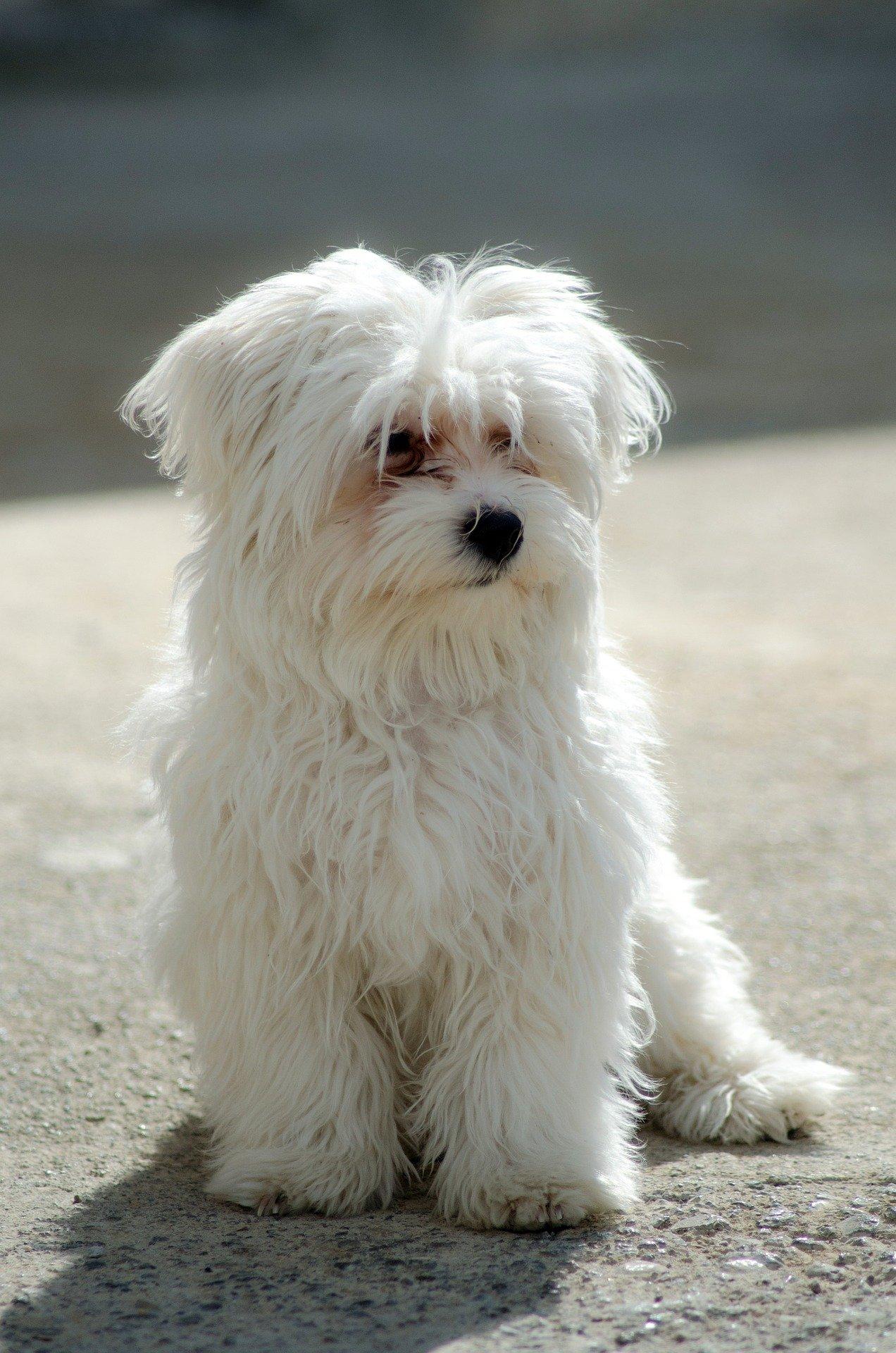 Cane maltese: le caratteristiche e il prezzo