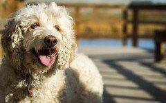 las razas de perros medianos