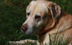 Le malattie renali dei cani le varie patologie dei reni