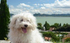 Dog Breeds: Bichon Bolognese temperament and personality
