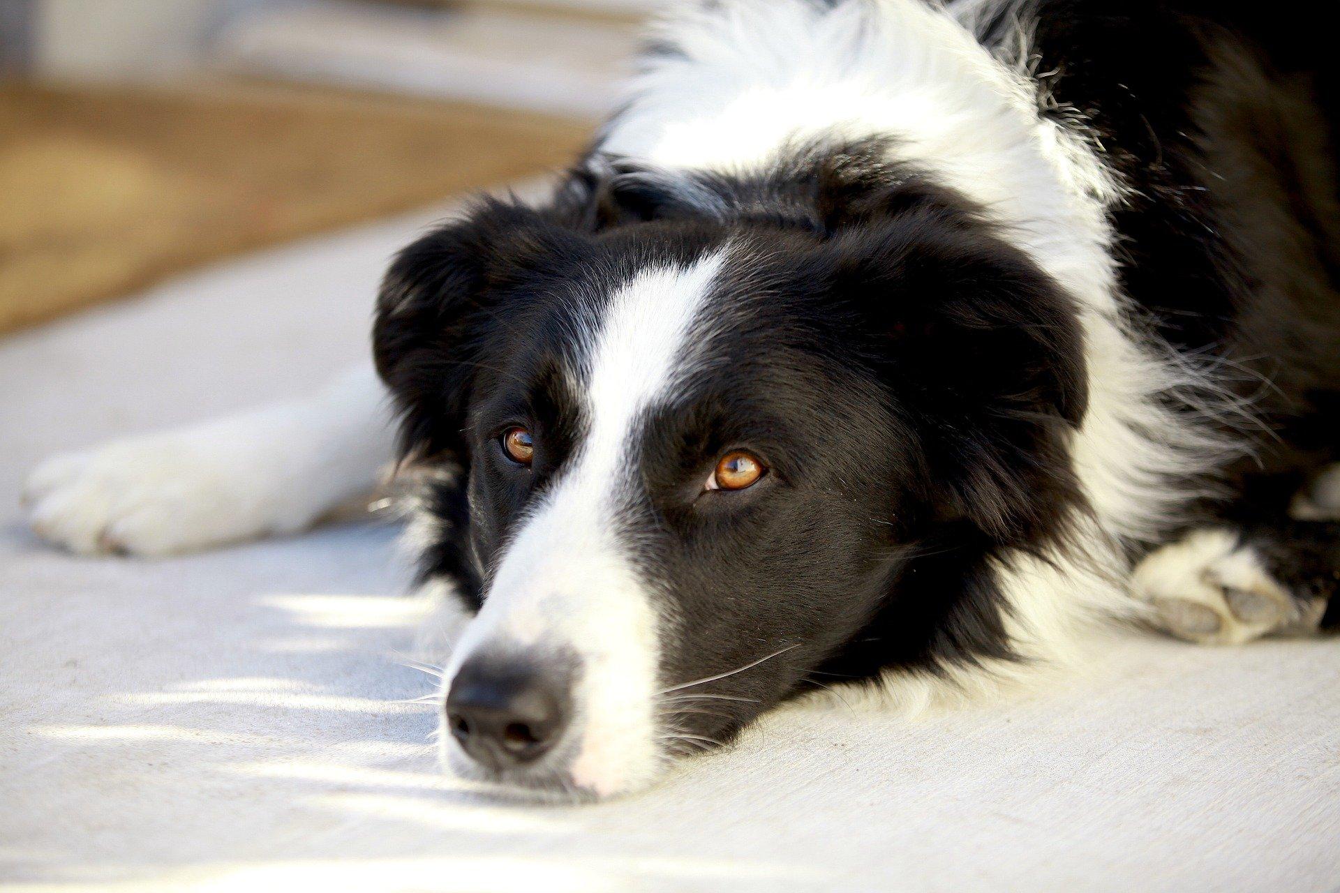 Perdita pelo del cane: quali sono le cause e come rimediare