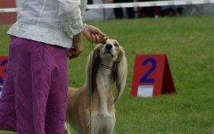 Addestrare un cane per esposizioni le regole fondamentali
