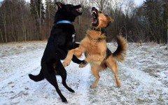 Cani da combattimento: le razze e la malavita