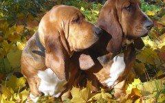 Cane dalle orecchie lunghe: caratteristiche, cure e salute