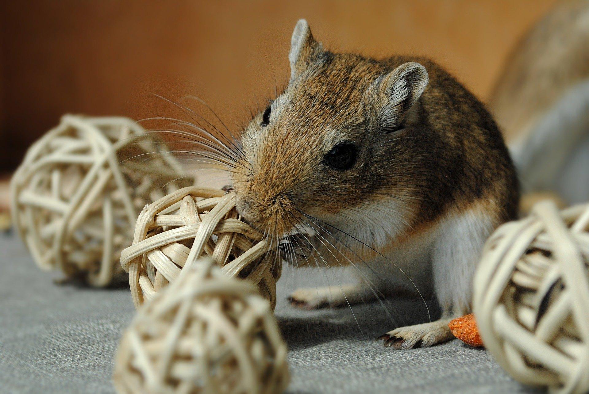 Gerbillo: tutto quello da sapere su questo animaletto domestico