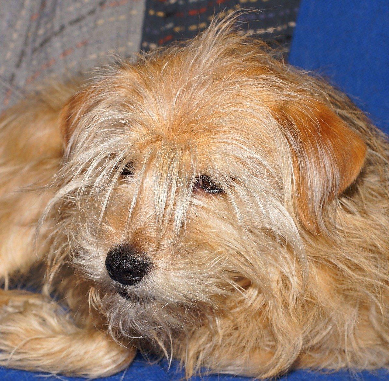 La malattia di Von Willebrand nei cani cause e sintomi